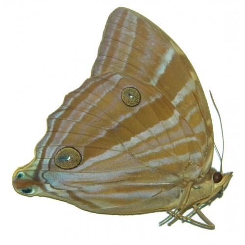Amathusia phidippus phidippus