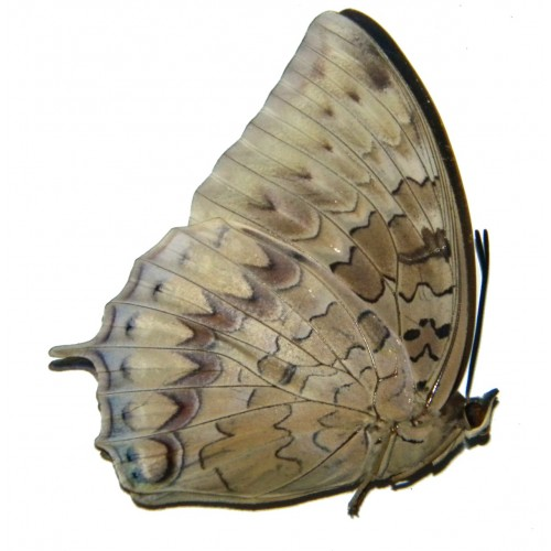 Charaxes durnfordi connectens