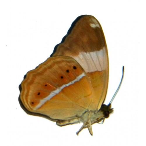 Cirrochroa emalea sororius