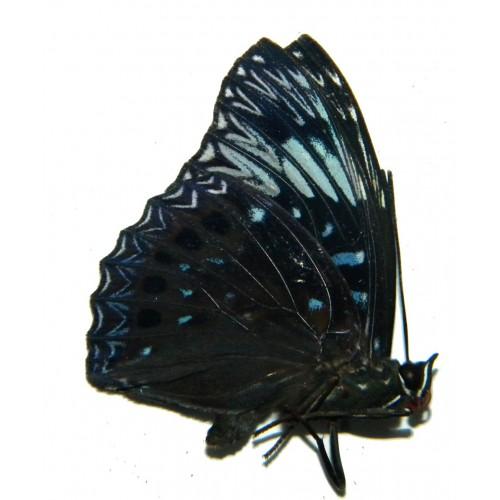Dichorragia nesimachus baliensis