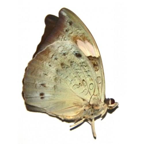Euthalia anosia pagiana