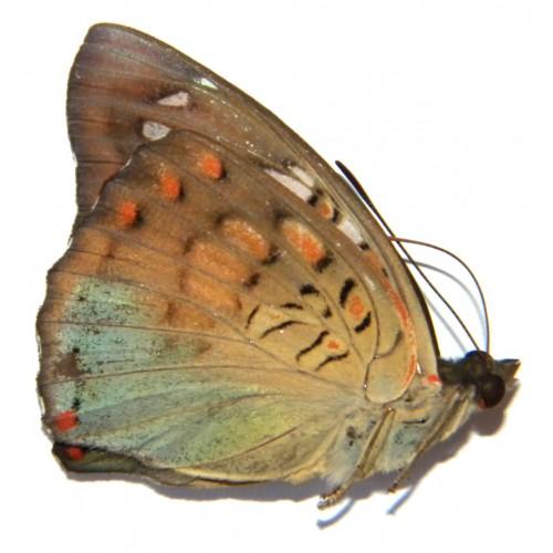Euthalia djata rubidifascia