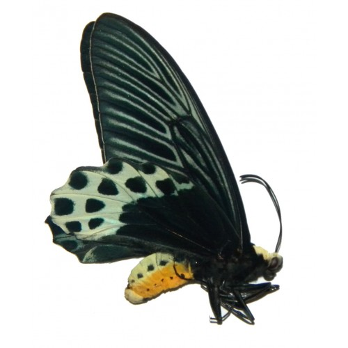Atrophaneura sycorax sycorax