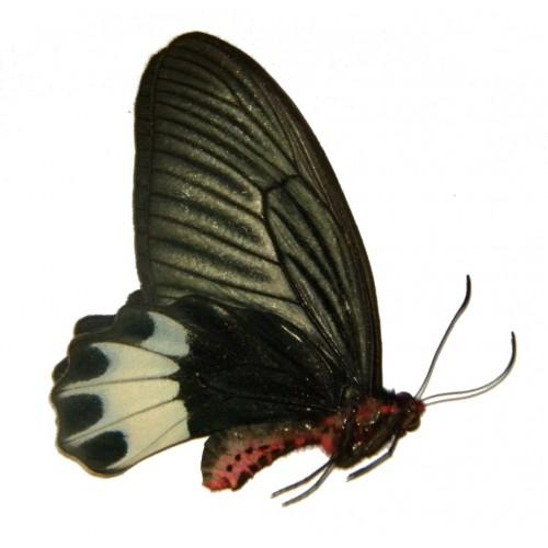 Atrophaneura varuna zaleucus