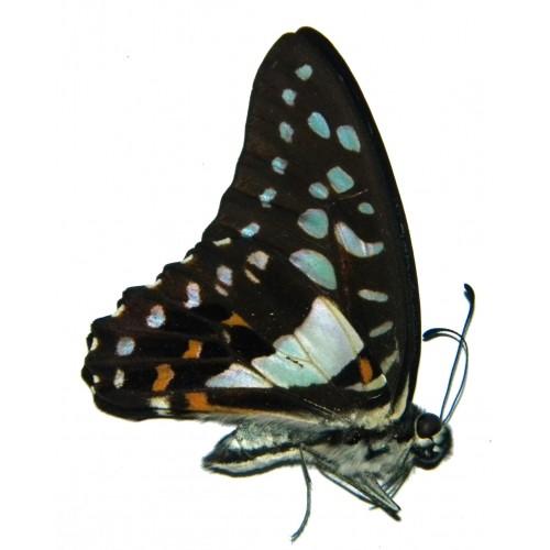 Graphium eurypylus eurypylus