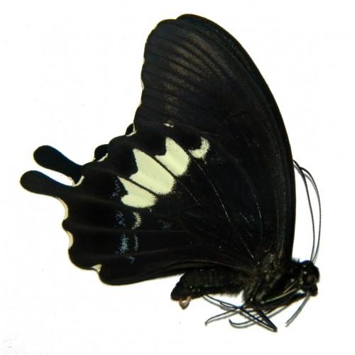 Papilio albinus yapenensis