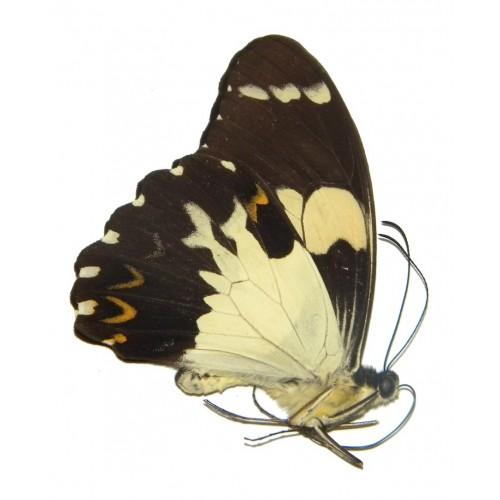Papilio euchenor misolensis