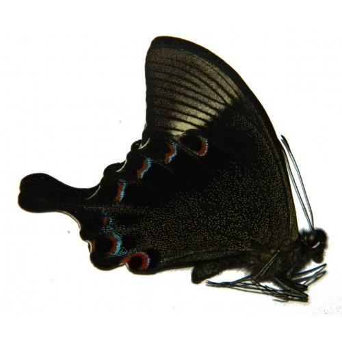 Papilio paris battacorum