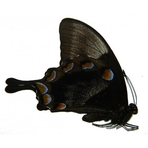 Papilio ulysses ampelius
