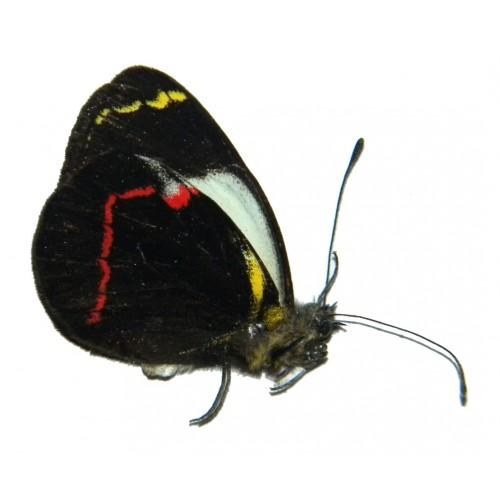 Delias campbelli microleuca
