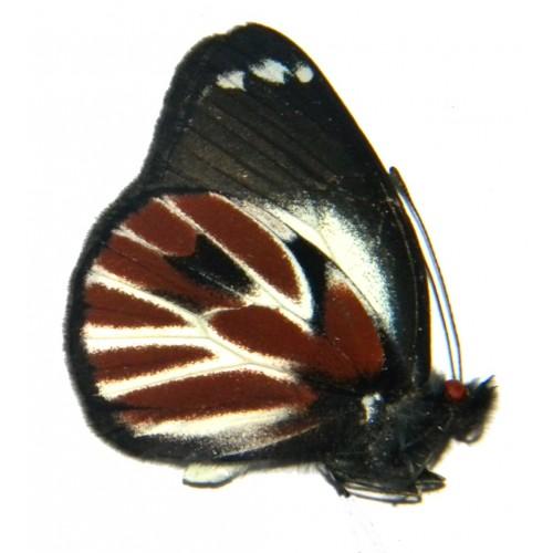 Delias nais nais f.zebra