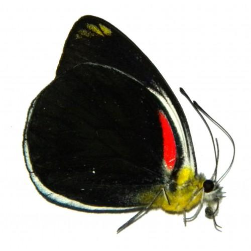 Delias ornytion persephone