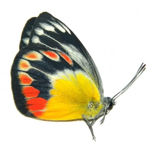 Delias periboea floresiana