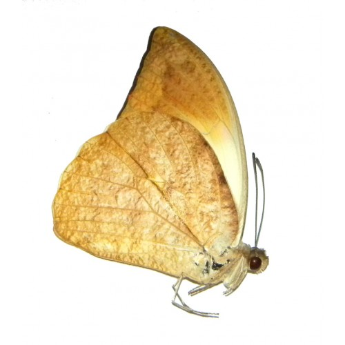 Hebomoia glaucippe timorensis