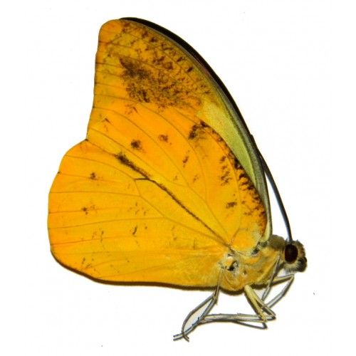 Hebomoia leucippe leucogynia