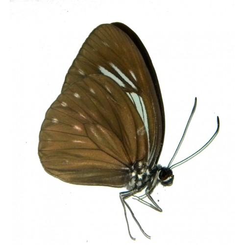 Pareronia argolis argolis