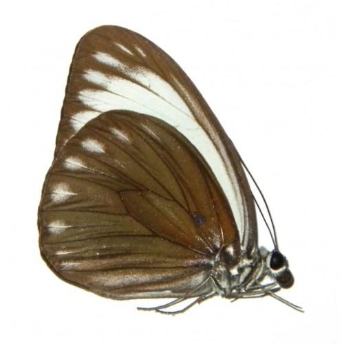 Pareronia chinki