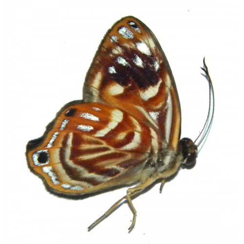Dicallaneura pulchra