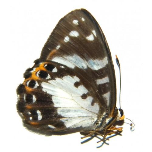 Praetaxila wallacei