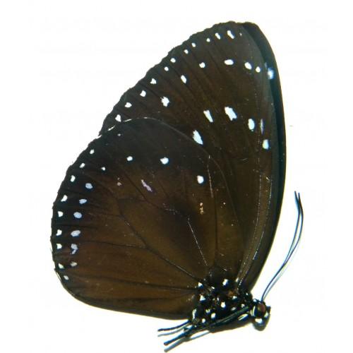 Euploea westwoodi leochares