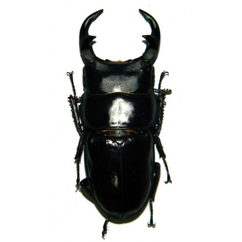 Dorcus parryi ritsemae (40-49mm)
