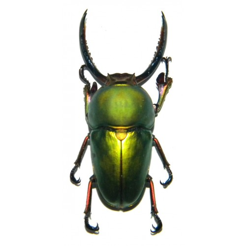 Lamprima adolphinae (40-50mm)