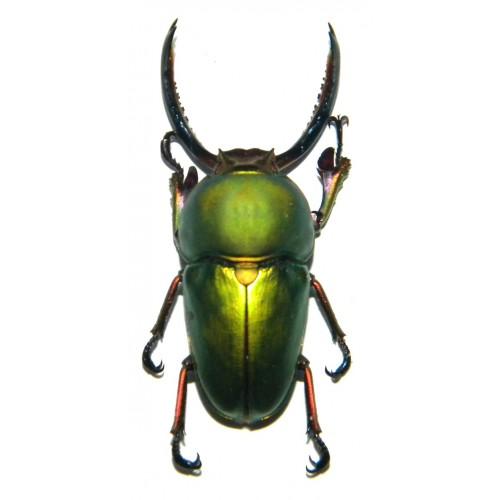 Lamprima adolphinae (30-40mm)