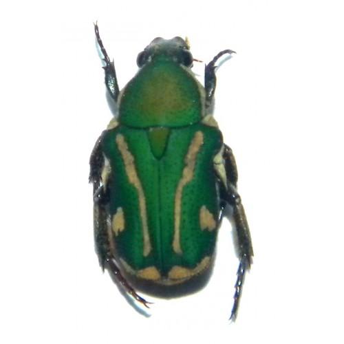 Glycyphana fulvipicta