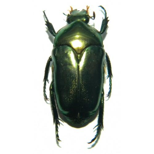 Ischiopsopha ceramensis