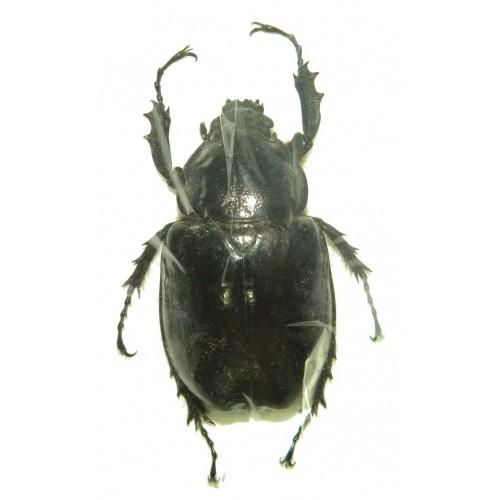 Xylotrupes sp.