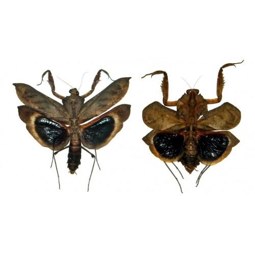 Deroplatys desiccata (open wings)
