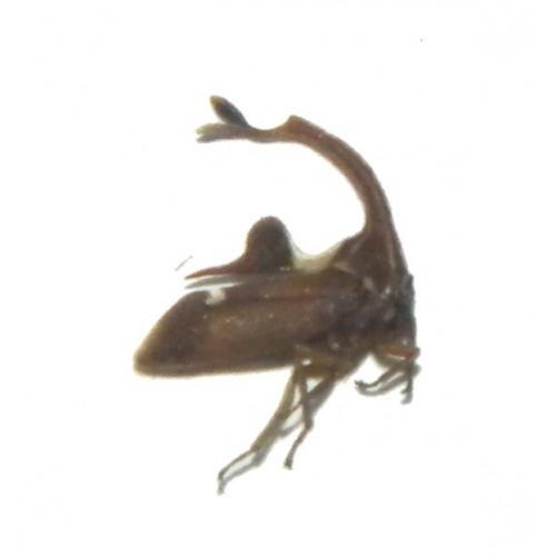 Membracidae sp.19