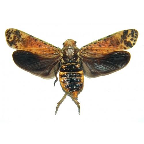 Polydicta illuminata