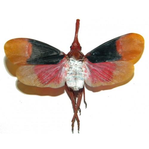 Pyrops detanii (open wings)
