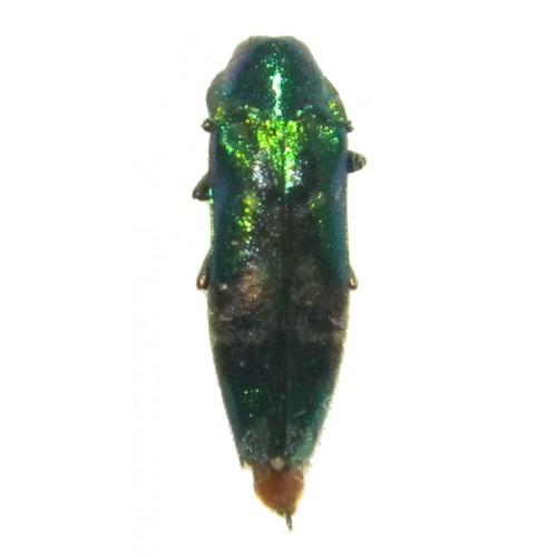 Buprestidae sp.01