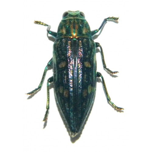 Buprestidae sp.02  Set of 30