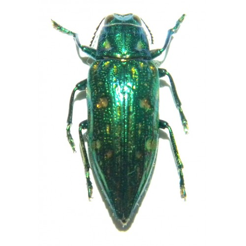 Buprestidae sp.03  Set of 30