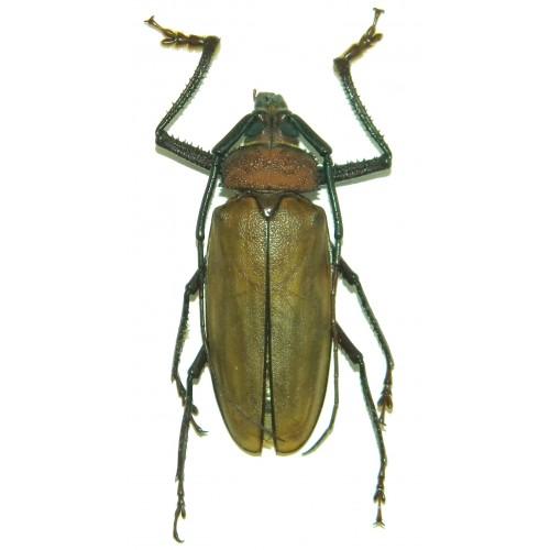Agrianome loriae (65mm)