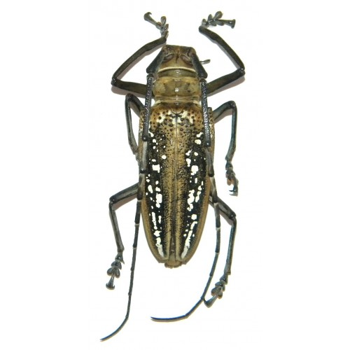 Batocera wallacei (65-69mm)