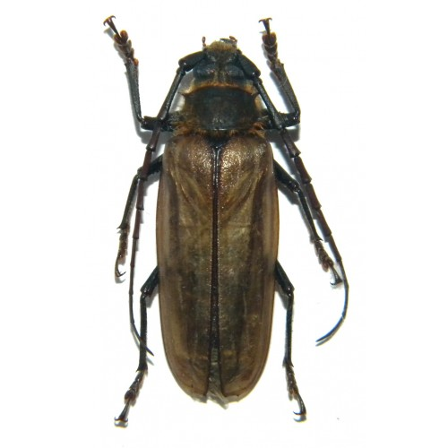 Osphryon pallidipennis (44mm)