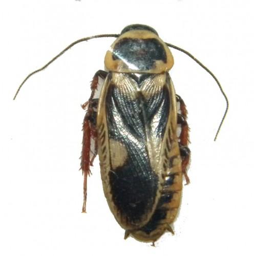 Blattaria sp.01