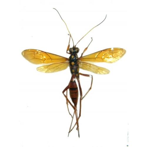 Gasteruptiidae sp.3