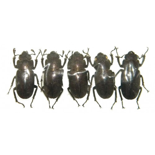 Cyclommatus metalifer finae Set of 5