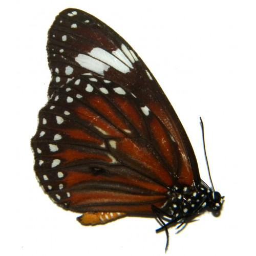 Danaus affinis philene
