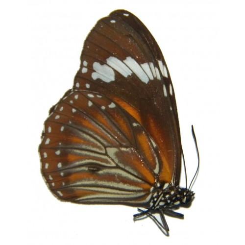 Danaus affinis suwajii