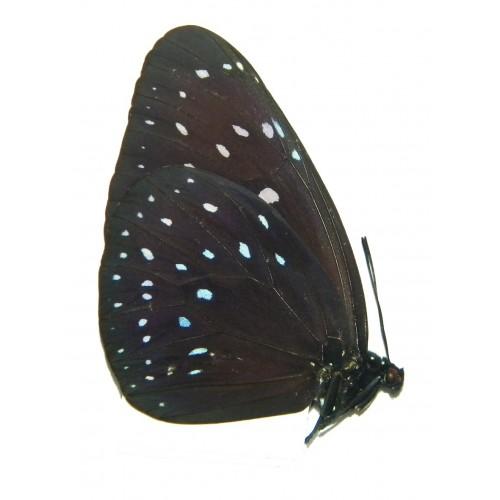 Euploea phaenareta hollandi