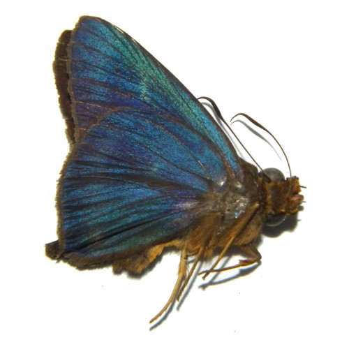 Hasora calaenus