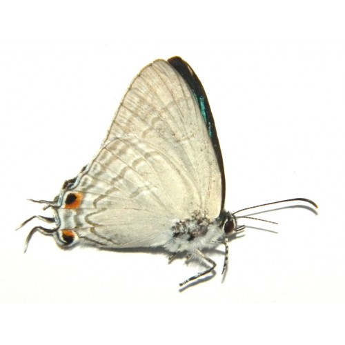 Hypolycaena erylus figulus