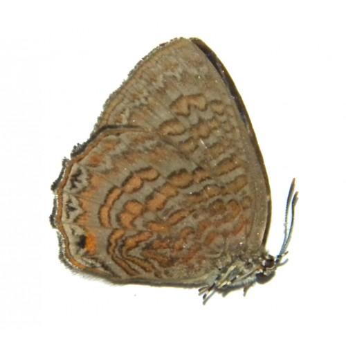 Poritia sumatrae sumatrae