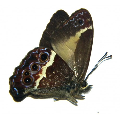 Altiapa decolor
